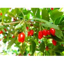 Plante Goji de 30-50cm