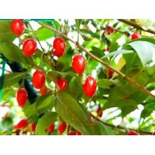 Arbusti Goji  de 60-80 cm