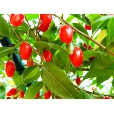 Arbusti Goji  de 2 ani (fructifica din primul an)